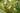 Naturaufnahme einer Sojapflanze mit gruenen Blaettern und gruenen Huelsen in Nahaufnahme