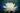 Weiße Lotusblüte vor dunklem Hintergrund
