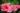 Nahaufnahme einer farbintensiven Hibiskusblüte