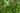 Naturaufnahme von zahlreichen grünen Macadamiafrüchten am Baum