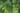 Grüne Minzblätter mit Wassertropfen in Nahaufnahme