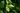 Naturaufnahme eines grünen Teezweiges mit jungen grünen Blättern mit Regentropfen