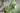 Jojobapflanze mit frischen grünen Blättern und Früchten in Nahaufnahme
