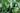 Jojobastrauch mit blass grünen Blättern in Nahaufnahme